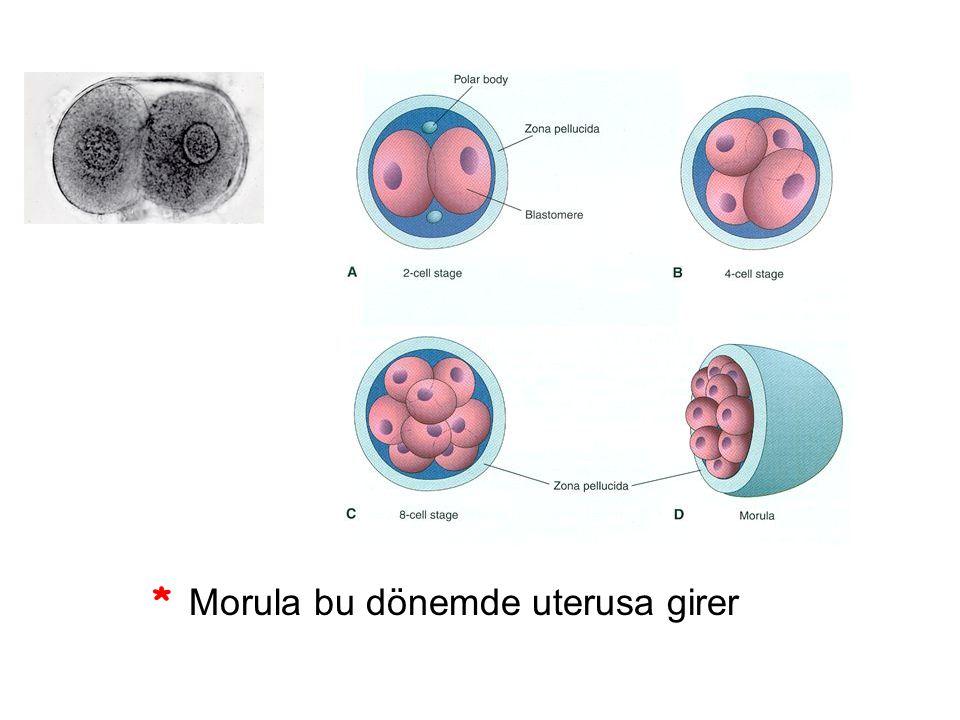 * Morula bu dönemde uterusa girer