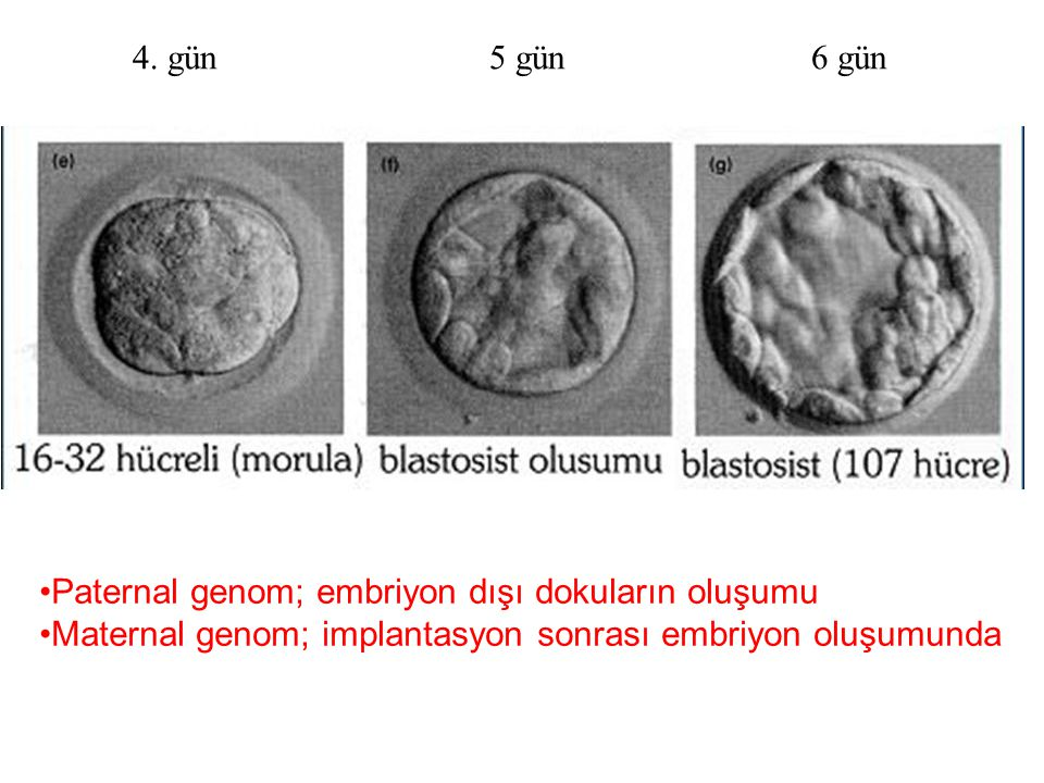 4. gün 5 gün 6 gün Paternal genom; embriyon dışı dokuların oluşumu.