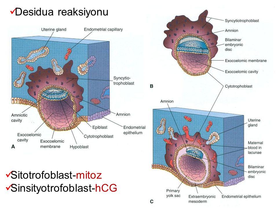 Desidua reaksiyonu Sitotrofoblast-mitoz Sinsityotrofoblast-hCG