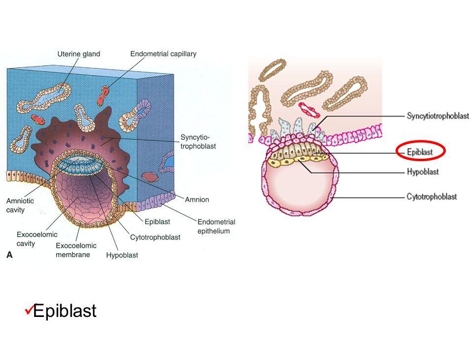 Epiblast