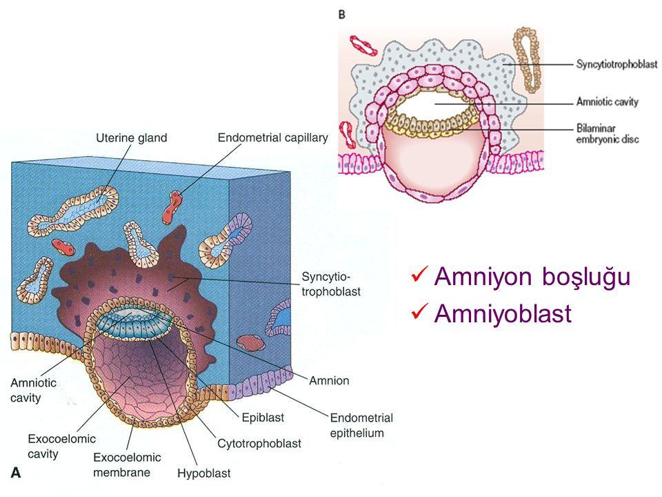 Amniyon boşluğu Amniyoblast