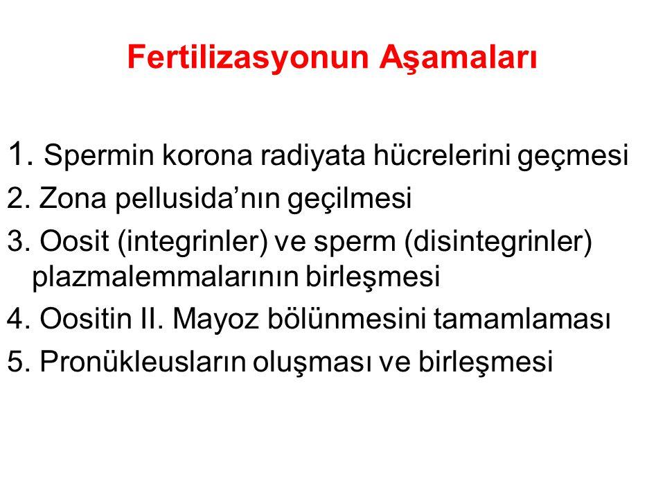 Fertilizasyonun Aşamaları
