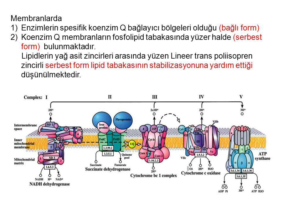 Membranlarda Enzimlerin spesifik koenzim Q bağlayıcı bölgeleri olduğu (bağlı form)
