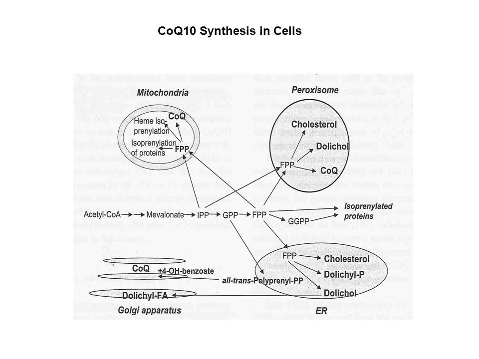 CoQ10 Synthesis in Cells