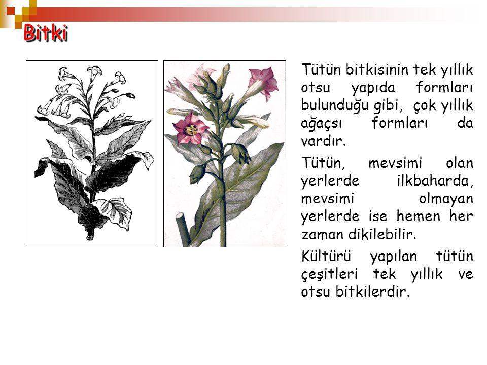 Bitki Tütün bitkisinin tek yıllık otsu yapıda formları bulunduğu gibi, çok yıllık ağaçsı formları da vardır.
