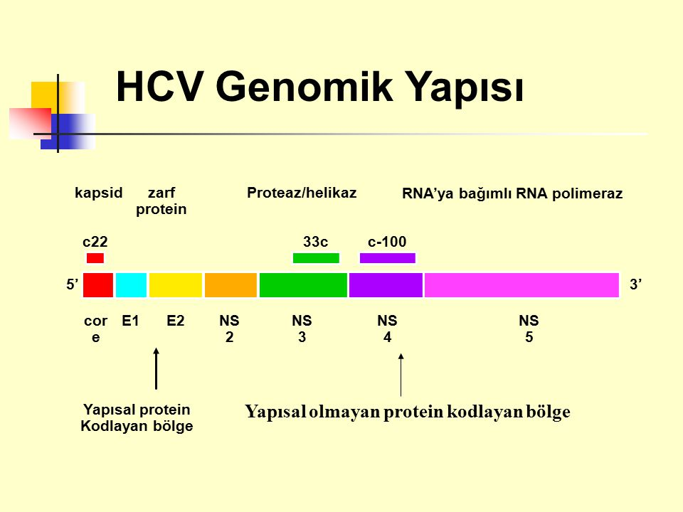 HCV Genomik Yapısı Yapısal olmayan protein kodlayan bölge kapsid zarf