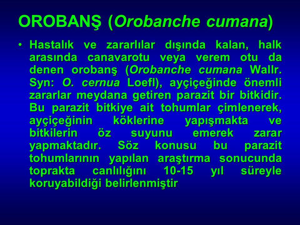 OROBANŞ (Orobanche cumana)