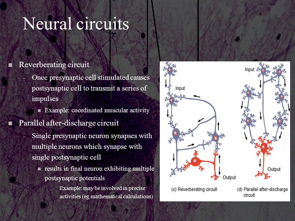 Neural circuits Reverberating circuit Parallel after-discharge circuit