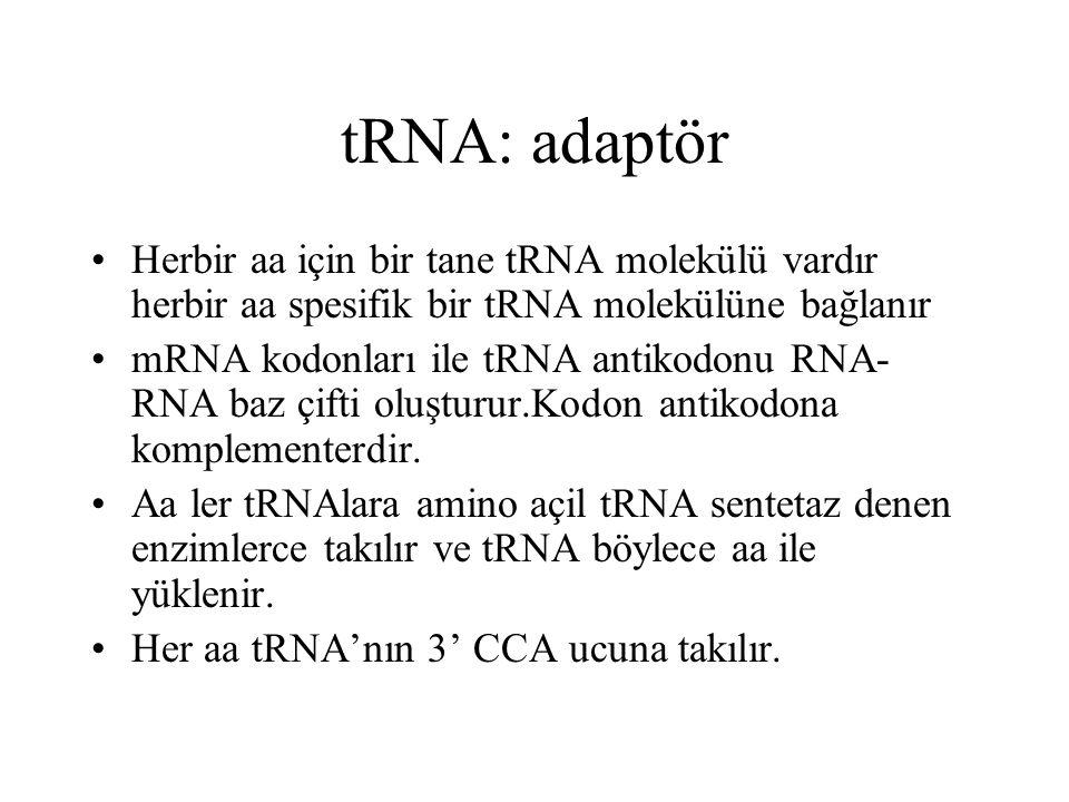 tRNA: adaptör Herbir aa için bir tane tRNA molekülü vardır herbir aa spesifik bir tRNA molekülüne bağlanır.
