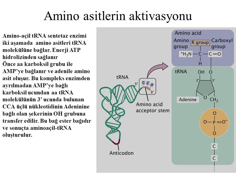 Amino asitlerin aktivasyonu