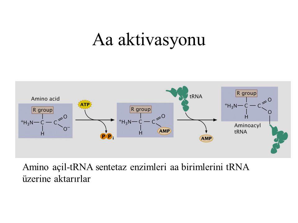 Aa aktivasyonu Amino açil-tRNA sentetaz enzimleri aa birimlerini tRNA üzerine aktarırlar