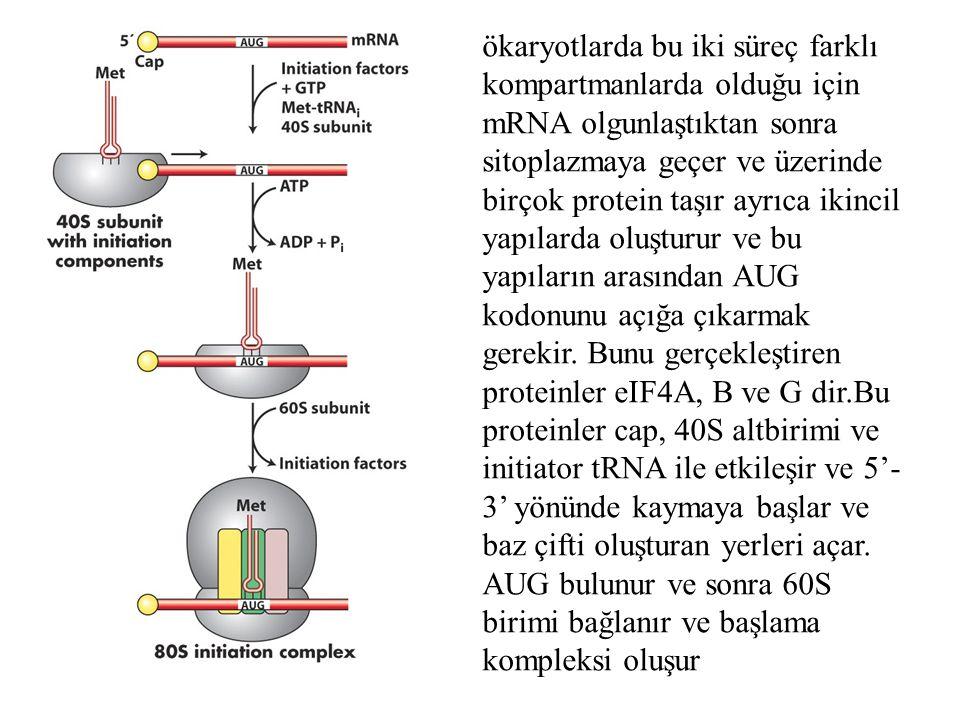ökaryotlarda bu iki süreç farklı kompartmanlarda olduğu için mRNA olgunlaştıktan sonra sitoplazmaya geçer ve üzerinde birçok protein taşır ayrıca ikincil yapılarda oluşturur ve bu yapıların arasından AUG kodonunu açığa çıkarmak gerekir.