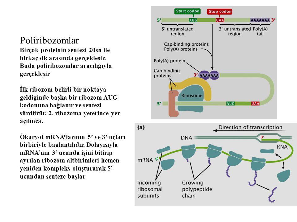 Poliribozomlar Birçok proteinin sentezi 20sn ile birkaç dk arasında gerçekleşir. Buda poliribozomlar aracılığıyla gerçekleşir.