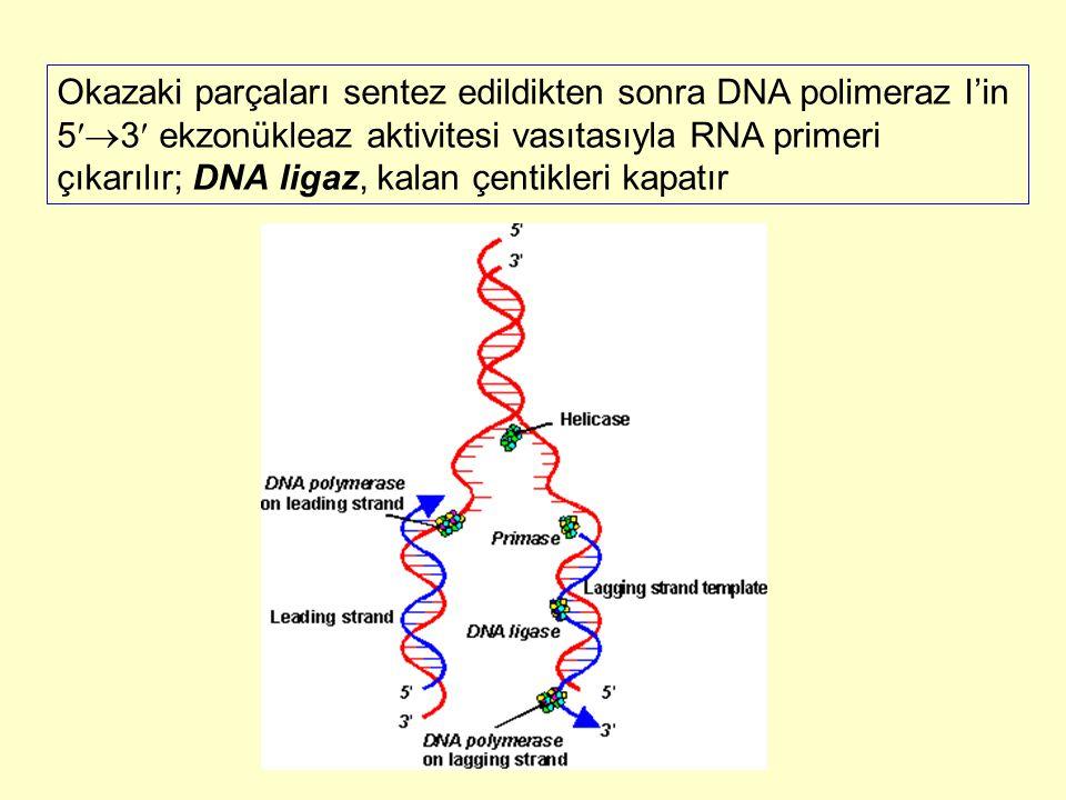 Okazaki parçaları sentez edildikten sonra DNA polimeraz I'in 53 ekzonükleaz aktivitesi vasıtasıyla RNA primeri çıkarılır; DNA ligaz, kalan çentikleri kapatır