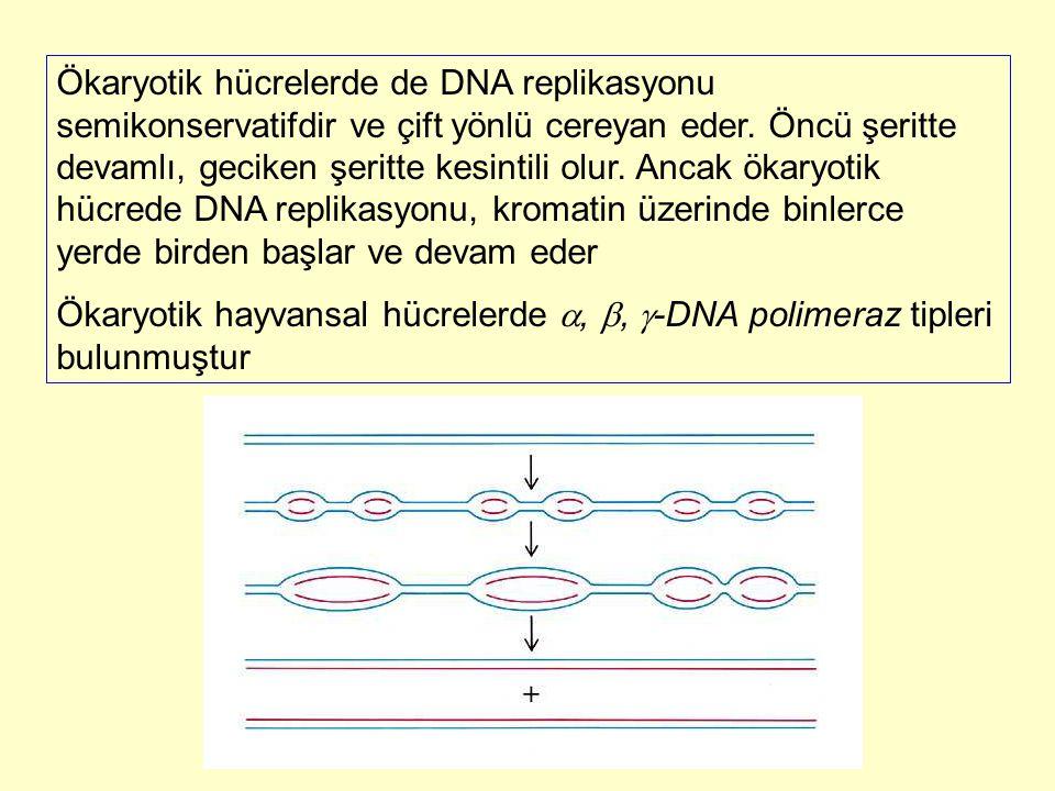 Ökaryotik hücrelerde de DNA replikasyonu semikonservatifdir ve çift yönlü cereyan eder. Öncü şeritte devamlı, geciken şeritte kesintili olur. Ancak ökaryotik hücrede DNA replikasyonu, kromatin üzerinde binlerce yerde birden başlar ve devam eder