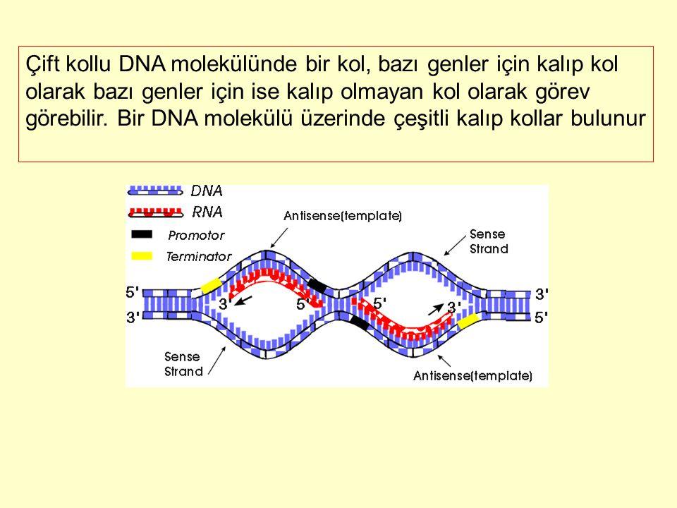 Çift kollu DNA molekülünde bir kol, bazı genler için kalıp kol olarak bazı genler için ise kalıp olmayan kol olarak görev görebilir.