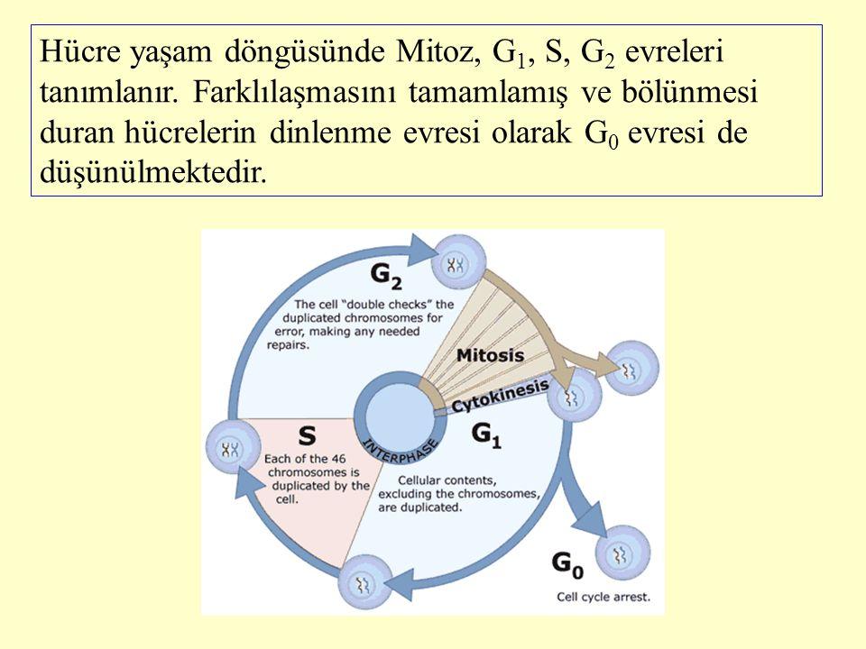 Hücre yaşam döngüsünde Mitoz, G1, S, G2 evreleri tanımlanır