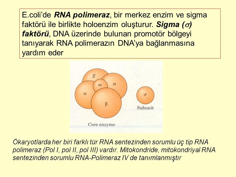 E.coli'de RNA polimeraz, bir merkez enzim ve sigma faktörü ile birlikte holoenzim oluşturur. Sigma () faktörü, DNA üzerinde bulunan promotör bölgeyi tanıyarak RNA polimerazın DNA'ya bağlanmasına yardım eder
