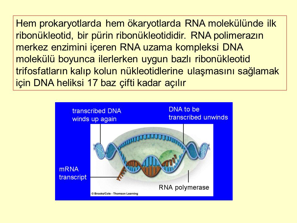 Hem prokaryotlarda hem ökaryotlarda RNA molekülünde ilk ribonükleotid, bir pürin ribonükleotididir.