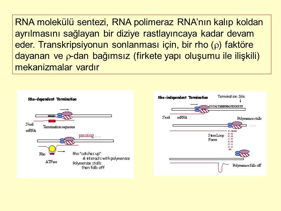 RNA molekülü sentezi, RNA polimeraz RNA'nın kalıp koldan ayrılmasını sağlayan bir diziye rastlayıncaya kadar devam eder.