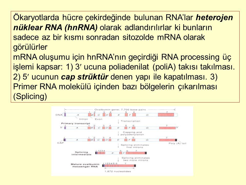 Ökaryotlarda hücre çekirdeğinde bulunan RNA'lar heterojen nüklear RNA (hnRNA) olarak adlandırılırlar ki bunların sadece az bir kısmı sonradan sitozolde mRNA olarak görülürler