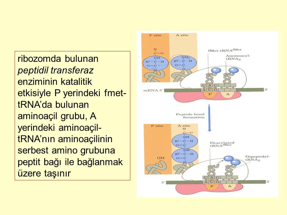ribozomda bulunan peptidil transferaz enziminin katalitik etkisiyle P yerindeki fmet-tRNA'da bulunan aminoaçil grubu, A yerindeki aminoaçil-tRNA'nın aminoaçilinin serbest amino grubuna peptit bağı ile bağlanmak üzere taşınır