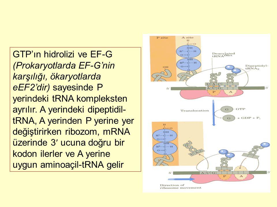 GTP'ın hidrolizi ve EF-G (Prokaryotlarda EF-G'nin karşılığı, ökaryotlarda eEF2'dir) sayesinde P yerindeki tRNA kompleksten ayrılır.