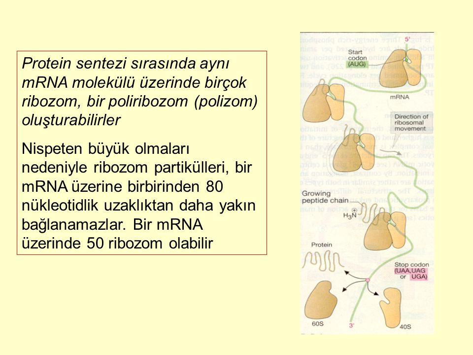 Protein sentezi sırasında aynı mRNA molekülü üzerinde birçok ribozom, bir poliribozom (polizom) oluşturabilirler