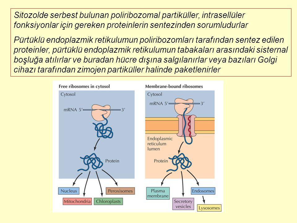 Sitozolde serbest bulunan poliribozomal partiküller, intrasellüler fonksiyonlar için gereken proteinlerin sentezinden sorumludurlar