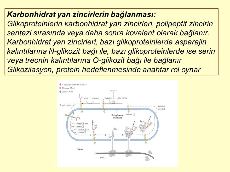 Karbonhidrat yan zincirlerin bağlanması: