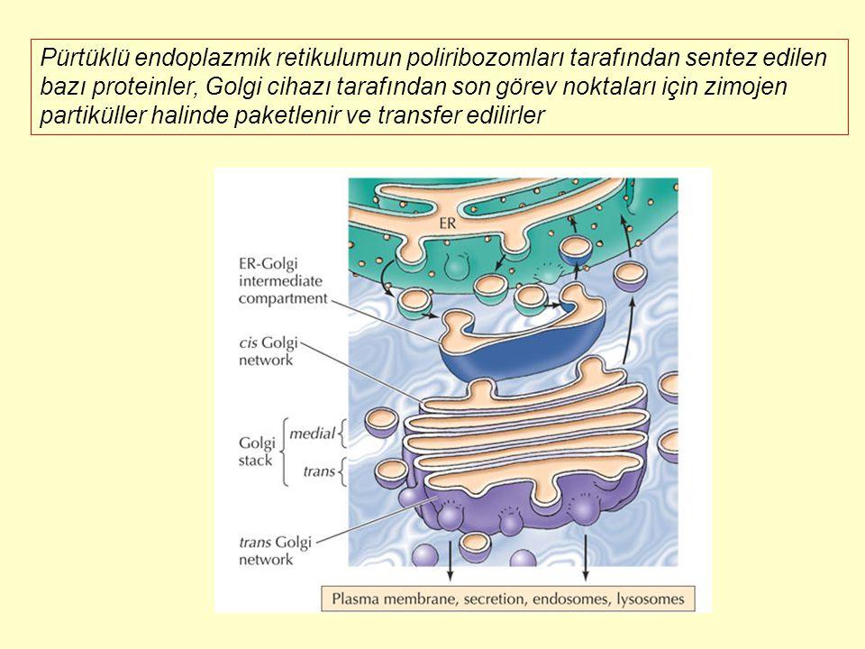 Pürtüklü endoplazmik retikulumun poliribozomları tarafından sentez edilen bazı proteinler, Golgi cihazı tarafından son görev noktaları için zimojen partiküller halinde paketlenir ve transfer edilirler