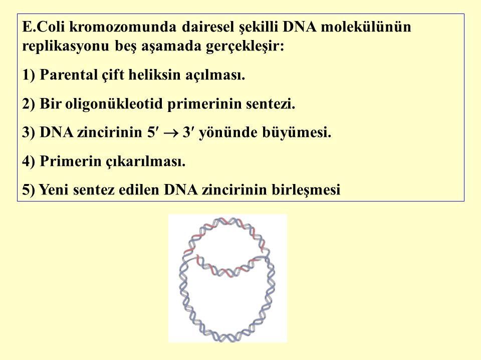 E.Coli kromozomunda dairesel şekilli DNA molekülünün replikasyonu beş aşamada gerçekleşir: