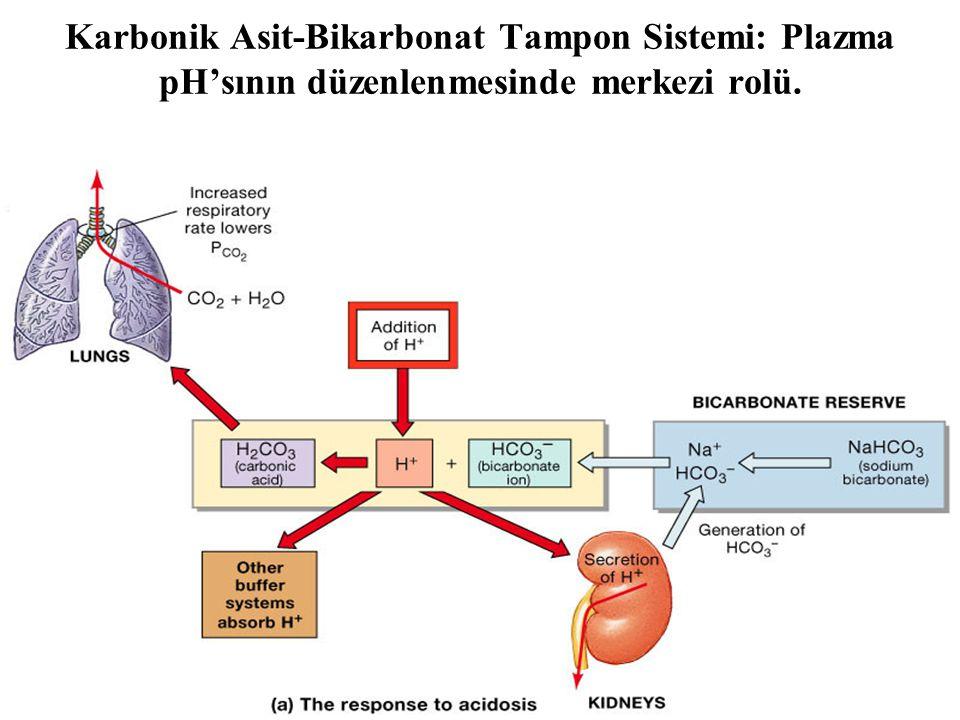 Karbonik Asit-Bikarbonat Tampon Sistemi: Plazma pH'sının düzenlenmesinde merkezi rolü.