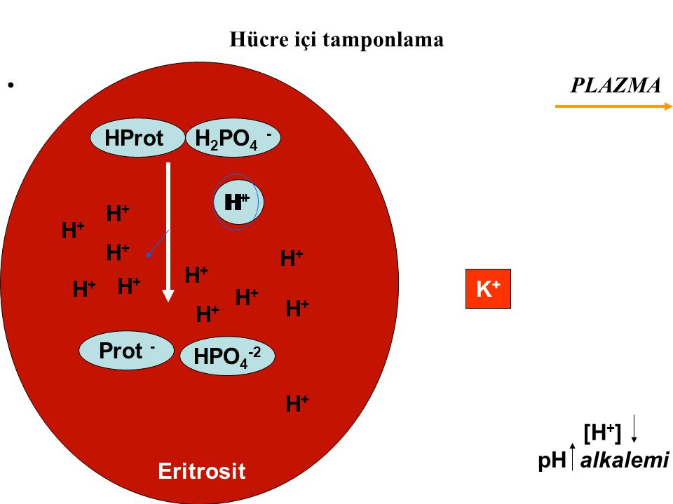 Hücre içi tamponlama PLAZMA. HProt. H2PO4 - H+ H+ H+ H+ H+ H+ H+ H+ H+ H+ K+ H+ H+ Prot -