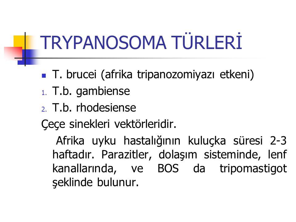 TRYPANOSOMA TÜRLERİ T. brucei (afrika tripanozomiyazı etkeni)