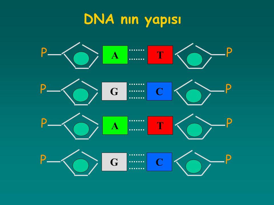 DNA nın yapısı T P A C G