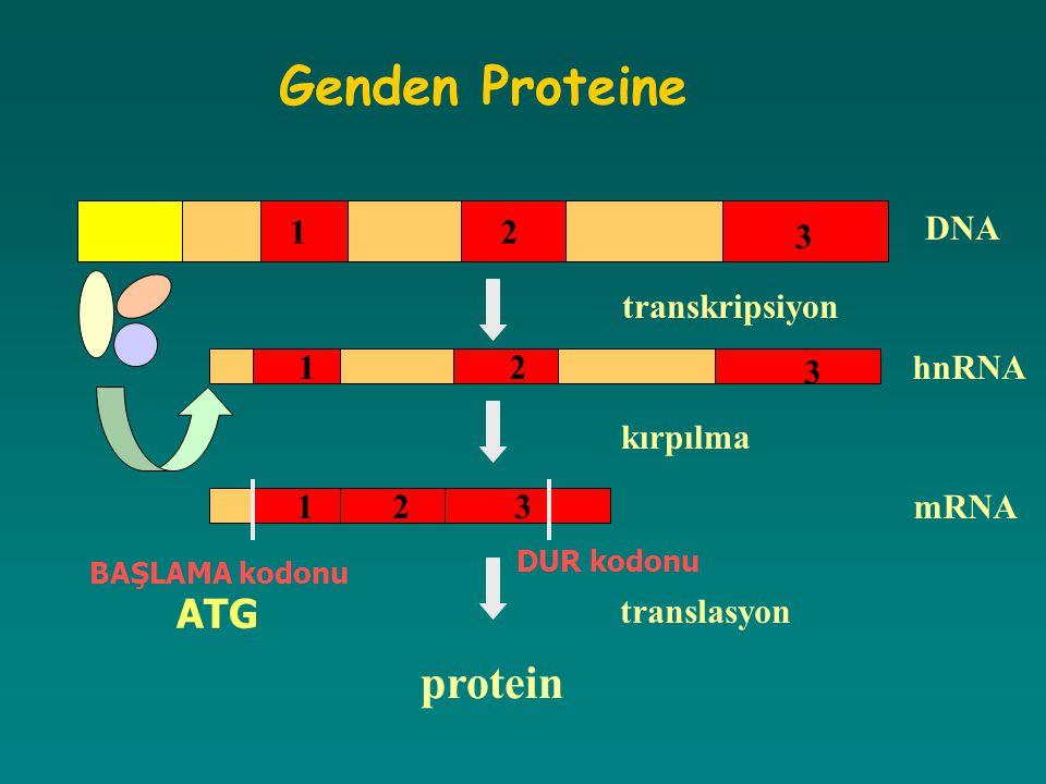 Genden Proteine protein ATG DNA 1 2 3 transkripsiyon 1 2 3 hnRNA