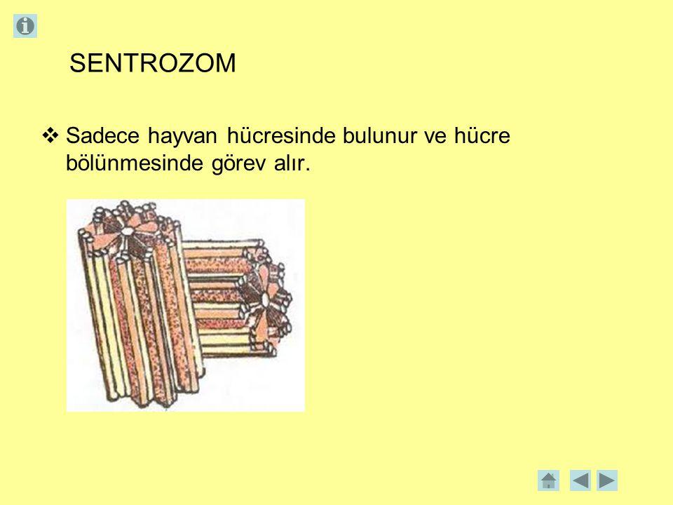 SENTROZOM Sadece hayvan hücresinde bulunur ve hücre bölünmesinde görev alır.
