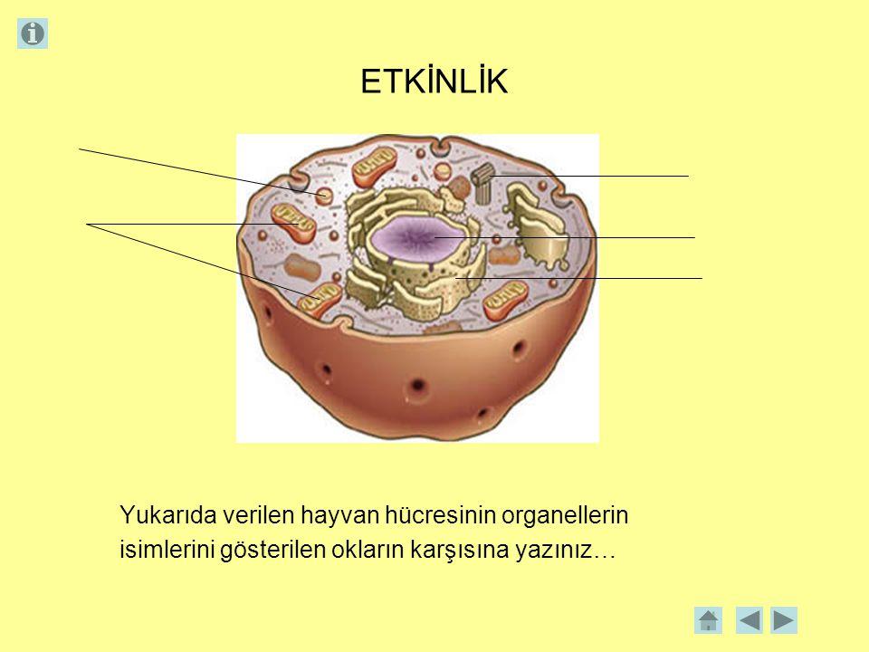 ETKİNLİK Yukarıda verilen hayvan hücresinin organellerin