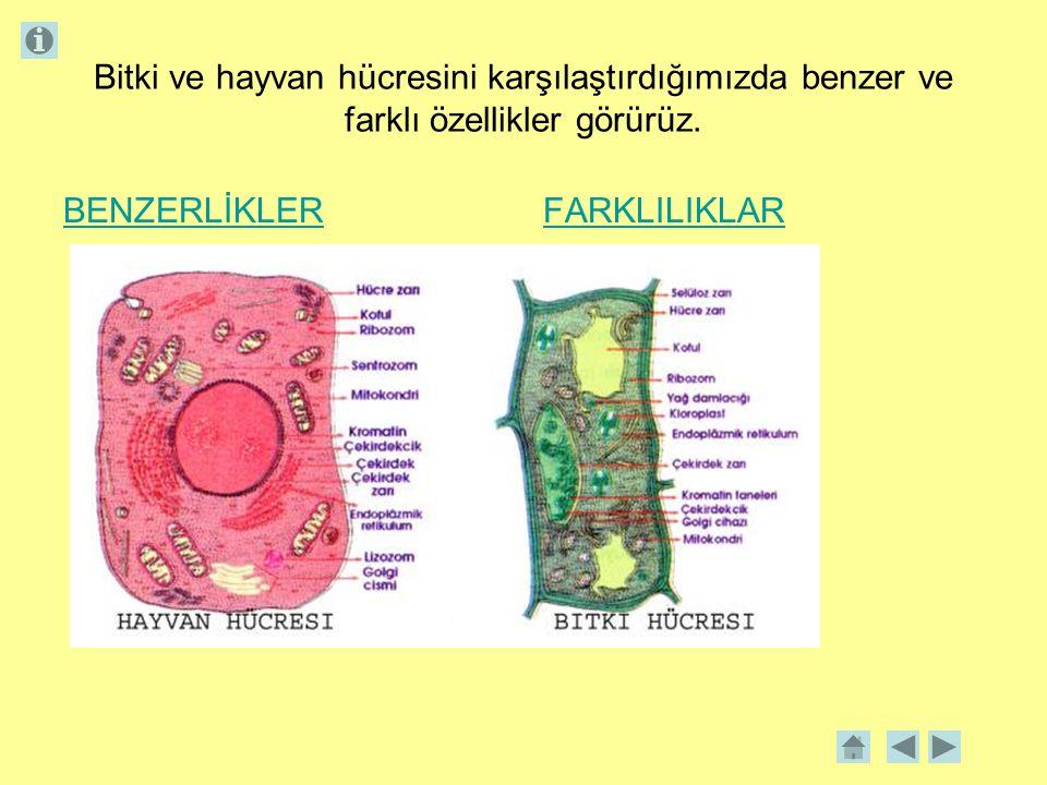 Bitki ve hayvan hücresini karşılaştırdığımızda benzer ve farklı özellikler görürüz.