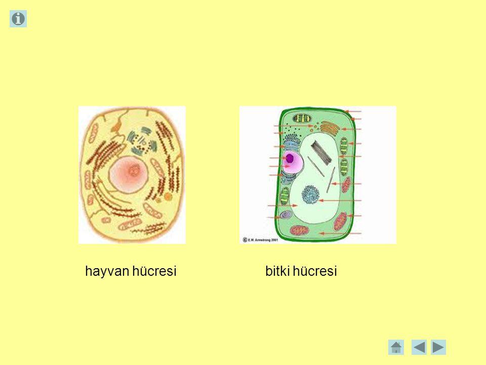hayvan hücresi bitki hücresi