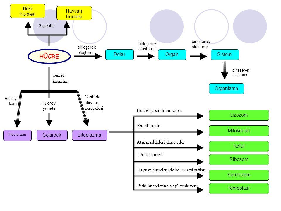 HÜCRE Bitki hücresi Hayvan hücresi Doku Organ Sistem Temel kısımları