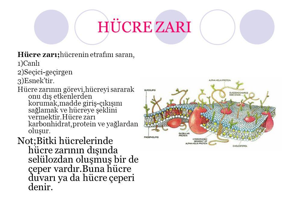 HÜCRE ZARI Hücre zarı;hücrenin etrafını saran, 1)Canlı. 2)Seçici-geçirgen. 3)Esnek'tir.