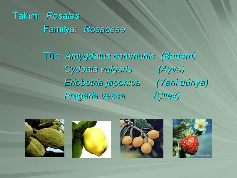 Takım: Rosales Familya: Rosaceae. Tür: Amygdalus communis (Badem) Cydonia vulgaris (Ayva)