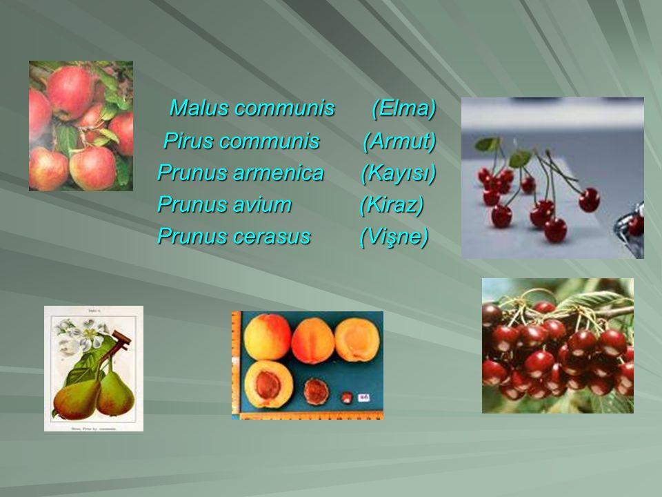 Malus communis (Elma) Pirus communis (Armut) Prunus armenica (Kayısı)