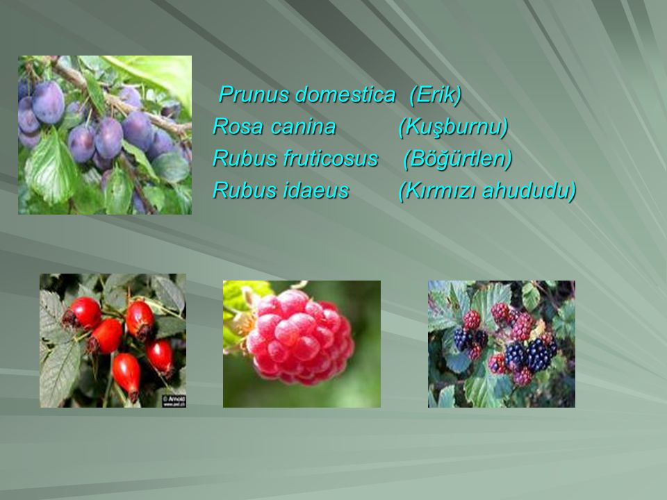 Prunus domestica (Erik)