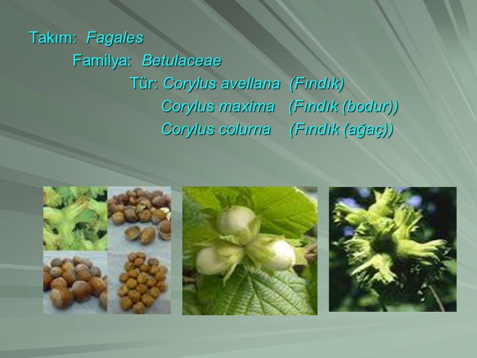 Takım: Fagales Familya: Betulaceae. Tür: Corylus avellana (Fındık) Corylus maxima (Fındık (bodur))