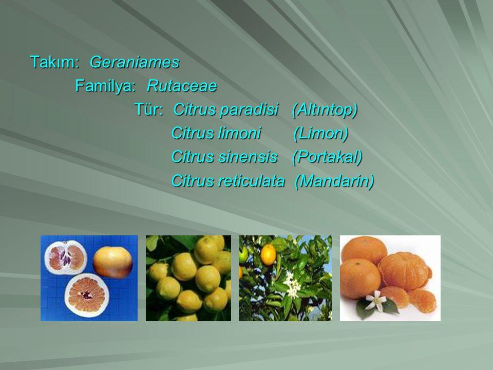 Takım: Geraniames Familya: Rutaceae. Tür: Citrus paradisi (Altıntop) Citrus limoni (Limon)