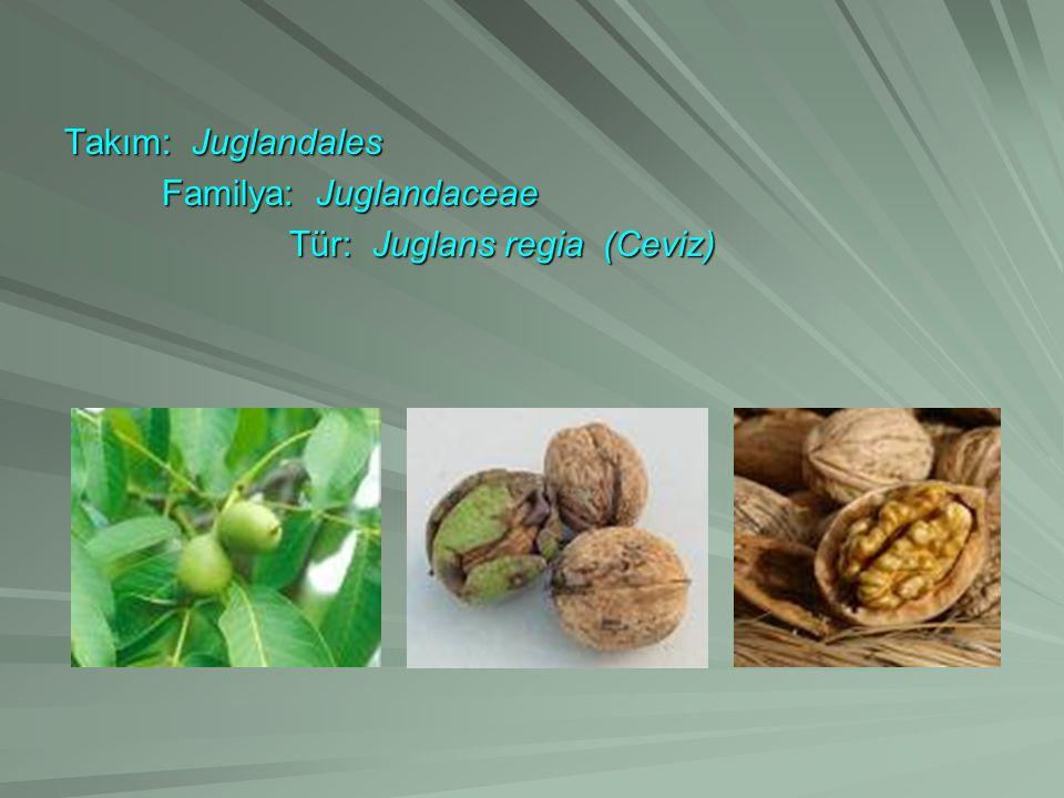 Takım: Juglandales Familya: Juglandaceae Tür: Juglans regia (Ceviz)