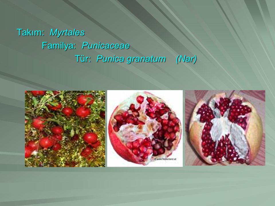 Takım: Myrtales Familya: Punicaceae Tür: Punica granatum (Nar)
